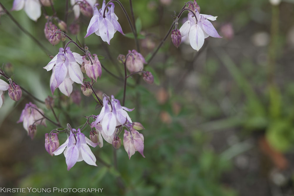 delicatepurpleflowers-6236